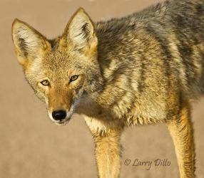Coyote (Canis latrans) too close to shoot, New Mexico, autumn
