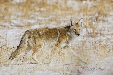 Coyote_Larry_Ditto_X0Z5927