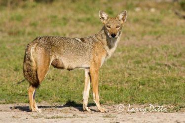 Coyote (Canis latrans) female, summer, s. Texas