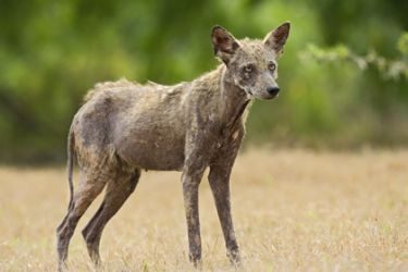 Coyote (Canis latrans) with mange, Texas