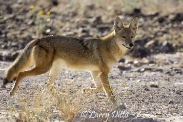 Coyote_Larry_Ditto_x0z2114