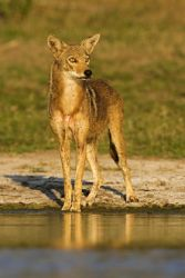 Coyote_Larry_ditto_x0z7869