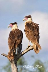 Young Crested Caracaras learning to hunt, s. Texas thorn-brush country