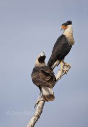 Crested_Caracara_Larry_Ditto_70K1887