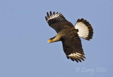 Crested_Caracara_Larry_Ditto_70K2240