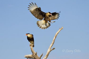 Crested Caracara landing at the Martin Refuge (Javelina Ranch), Texas