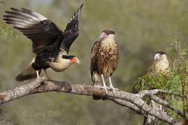 Crested Caracaras on mesquite perch, Martin Ranch