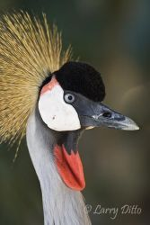 Crowned_Crane_Larry_Ditto_X0Z3074