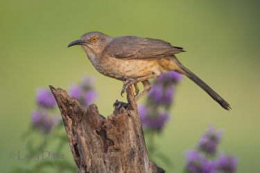 Curve-billed Thrasher and horse mint at sunrise.