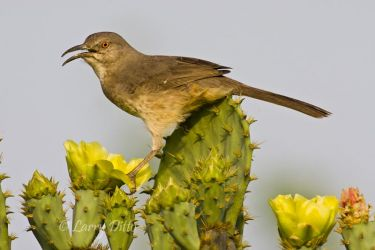 Curve-billed Thrasher on prickly pear cactus in spring, s. Texas
