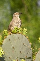Curve-billed_Thrasher_Larry_Ditto_X0Z0088