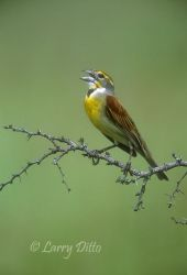 Dickcissel (Spiza americana) male singing on territory, spring