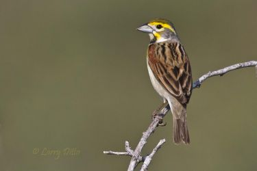 Dickcissel_Larry_Ditto_MG_0138