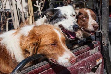 Giles Ranch herding dogs