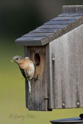 Eastern Bluebird female feeding young