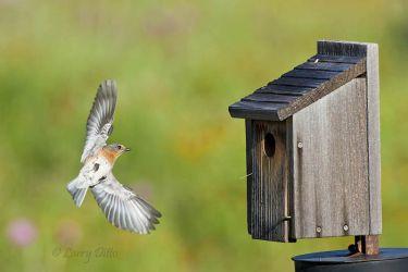 Eastern Bluebird landing at nest box, central Texas