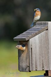 Eastern Bluebird pair at nest box to feed young