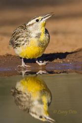 Eastern_Meadowlark_Larry_Ditto_MG_2513