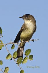 Eastern_Phoebe_Larry_Ditto_70K2317