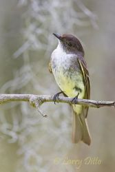 Eastern_Phoebe_Larry_Ditto_70K9974-1