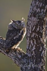 Eastern Screech Owl in mesquite