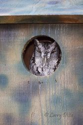 Eastern_Screech_Owl_Larry_Ditto_MG_8160