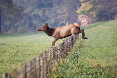 Elk (Cervus elaphus) cow jumping fence in Ozark Mountains, Arkansas, autumn
