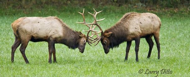 Elk (Cervus elaphus) bulls fighting, October