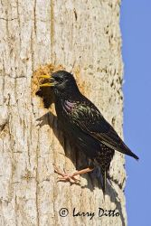 European_Starling_Larry_Ditto_X0Z6989