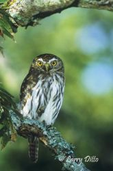 Ferruginous Pygmy Owl perched in tree with lichen-covered branches, s. Texas