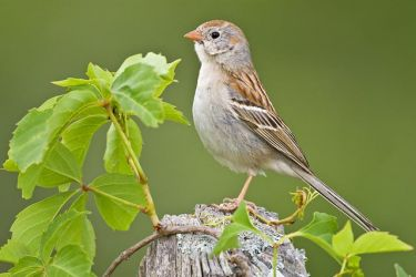 Field_Sparrow_Larry_Ditto_70K4497