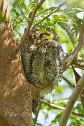Flamulated Owl, South Padre Island, Texas, March 2, 2013