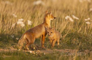 Fox,_Swift_70K1883