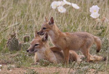 Fox,_Swift_Larry_Ditto_MG_6089