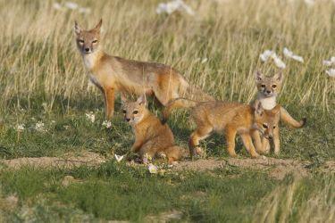 Swift Fox family on the prairie