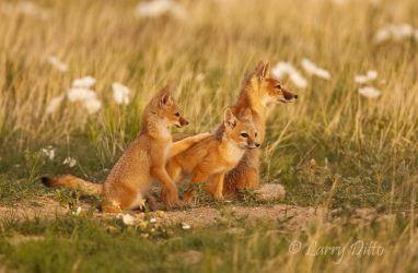 Swift Fox family at den