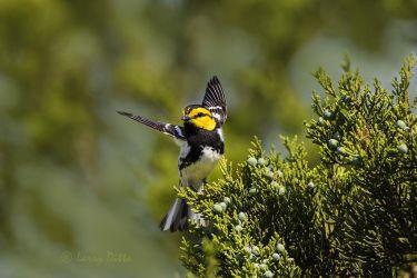 Golden-cheeked Warbler landing in juniper