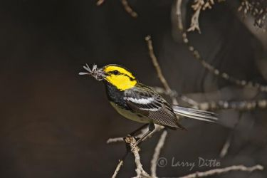 Golden-cheeked_Warbler_Larry_Ditto_MG_5771