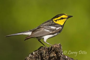 Golden-cheeked_Warbler_Larry_Ditto_X0Z0023