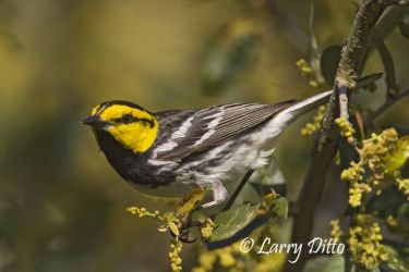 Golden-cheeked_Warbler_Larry_Ditto_X0Z0033_(1)