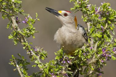Golden-fronted Woodpecker_MG_4702