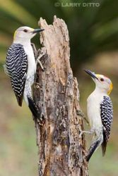 Golden-fronted_Woodpecker_3_Larry_Ditto