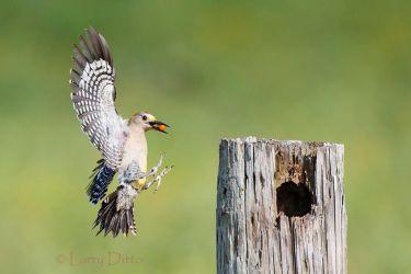 Golden-fronted_Woodpecker_51U5179