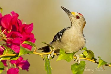 Golden-fronted_Woodpecker_Larry_Ditto_MG_0522