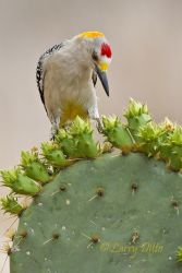 Golden-fronted_Woodpecker_Larry_Ditto_MG_4403