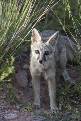 Gray Fox, Davis Mountains