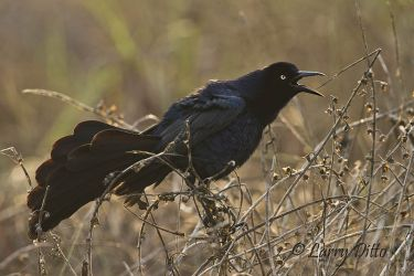 Great-tailed Grackle male calling, SPI, Texas