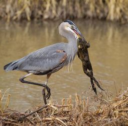 Great Blue Heron with Bull Frog