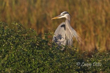 Great_Blue_Heron_Larry_Ditto_70K1902