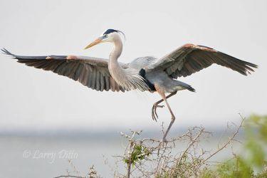Great Blue Heron landing, Laguna Madre, Texas